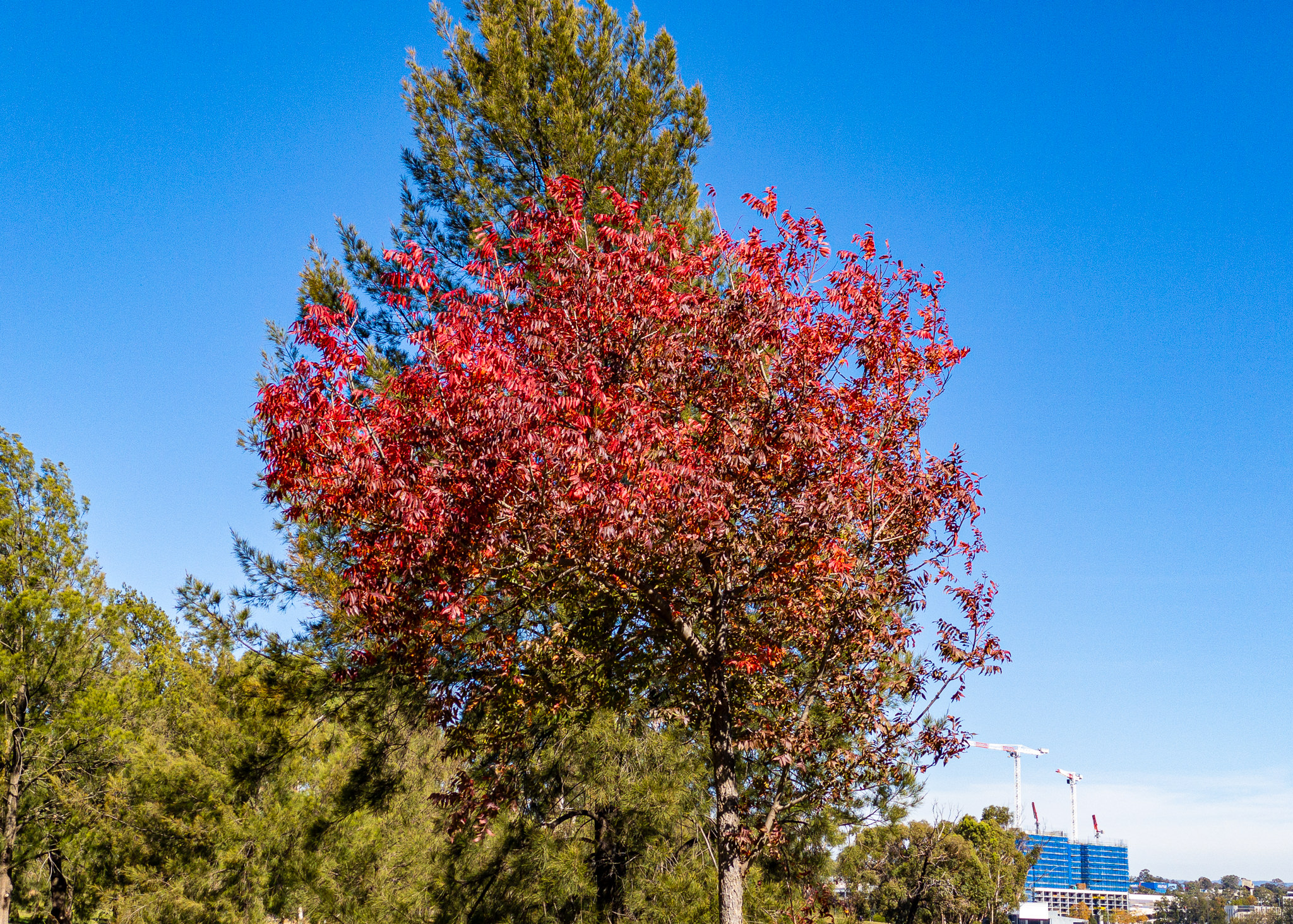 Lake Ginninderra Autumn tree